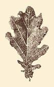 oak leaf engraving style vintage illustration hand drawn vector