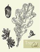 Oak leaf, flowers and  acorns isolated on white vector illustration