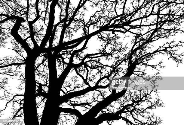 illustrations, cliparts, dessins animés et icônes de oak tree les branches en arrière-plan - arbre sans feuillage