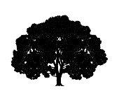 Oak tree. Isolated oak on white background