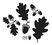 Oak tree. Silhouette. Isolated acorns and leaves on white background