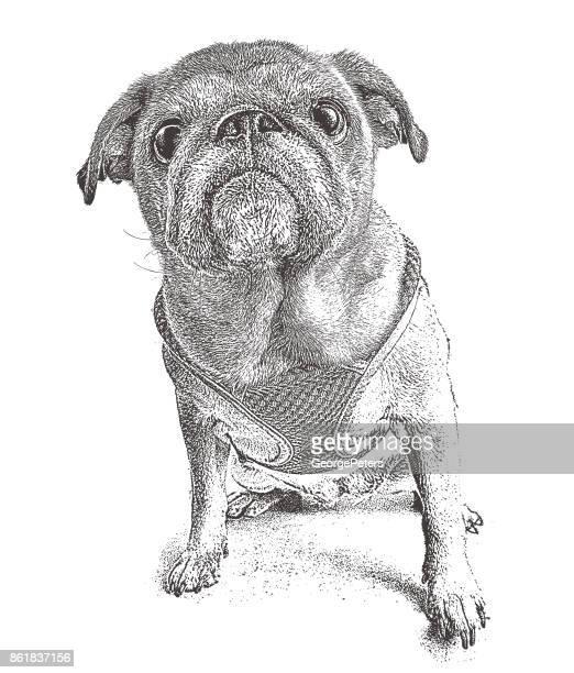 stockillustraties, clipart, cartoons en iconen met oude pug met een grappige knorrige uitdrukking. 10 jaar oud. - puggle