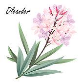 Oleander flowers, hand drawn vector illustration.