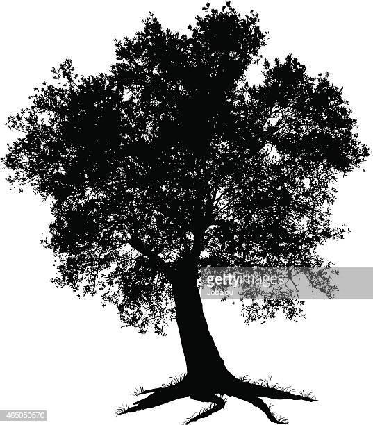 illustrations, cliparts, dessins animés et icônes de olive tree illustration - olivier