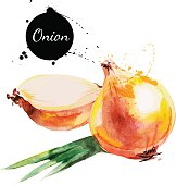 Onion. Hand drawn watercolor painting on white background. Vecto