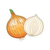 Onion vector colored botanical illustration