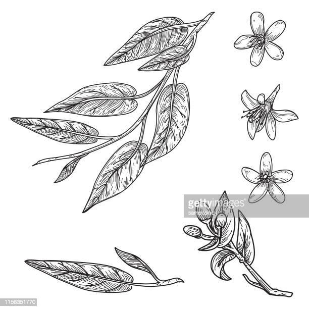illustrazioni stock, clip art, cartoni animati e icone di tendenza di orange blossom and leaves in vintage retro style - tecnica illustrativa