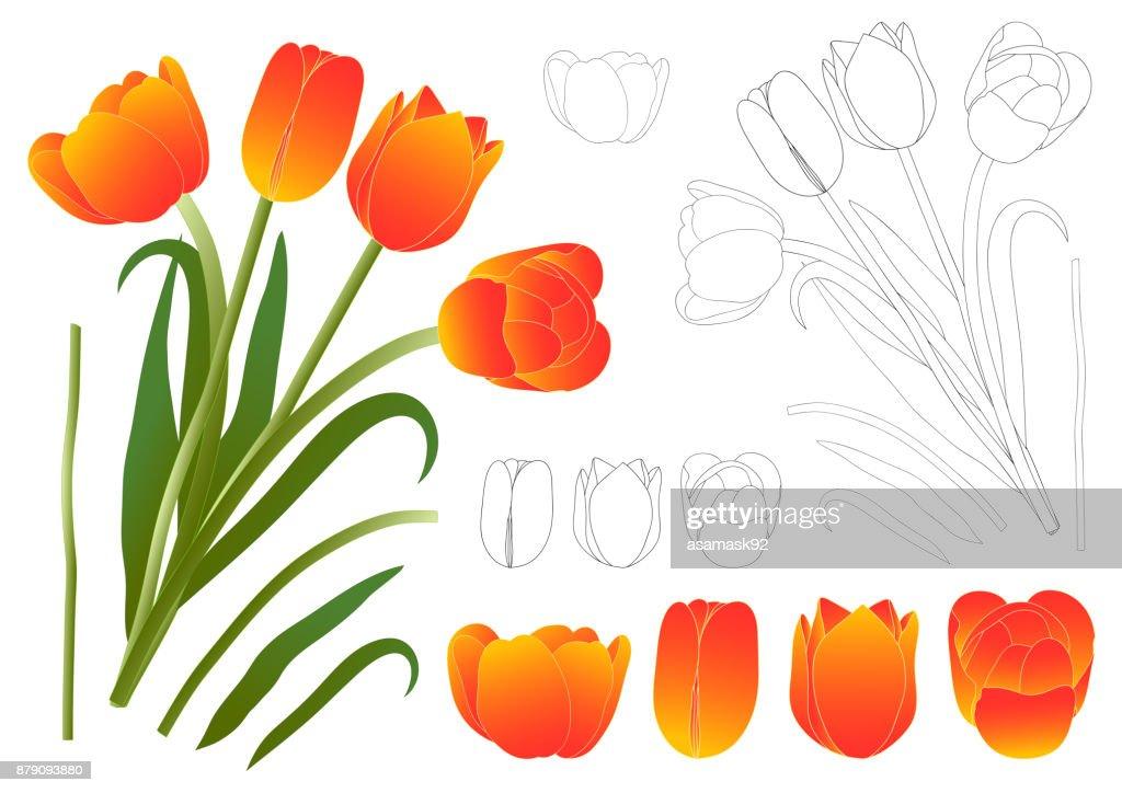 Orange Bouquet Tulip. Vector Illustration.