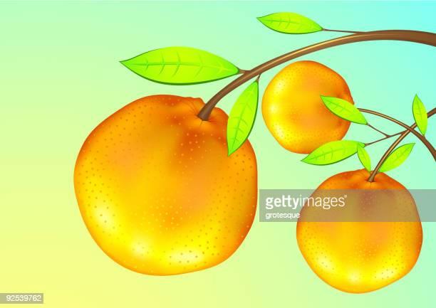ilustrações de stock, clip art, desenhos animados e ícones de frutas laranja - laranjeira