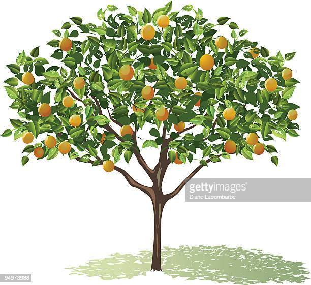 orange tree full bloom with leaves and fruit casting shadow - fruit tree stock illustrations
