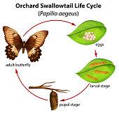 Orchard swallowtail life cycle