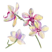 Orchid flowers watercolor hand drawn botanical illustration isolated on white background for design pattern, package cosmetic, greeting card, wedding invitation, florist shop, printing, beauty salon