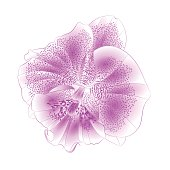 Orchid Phalaenopsis Purple-white  beautiful flower closeup isolated vintage  vector illustration