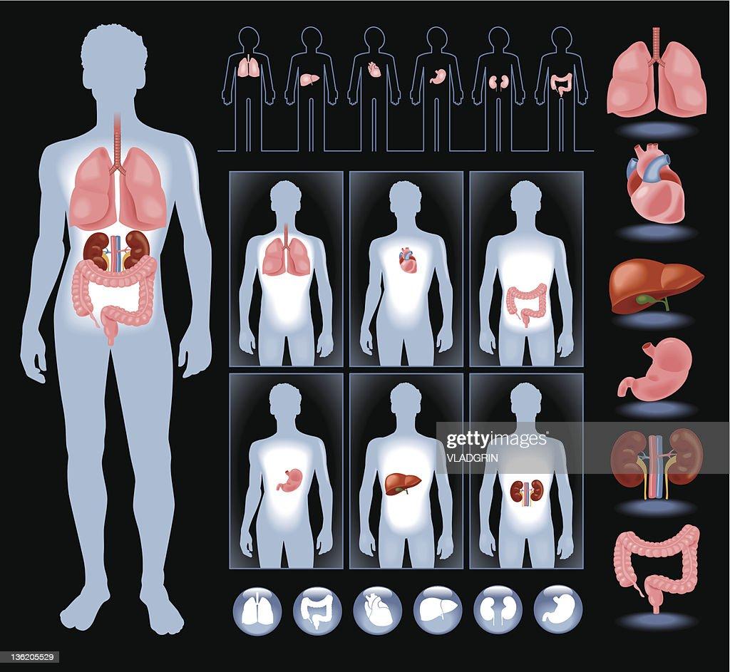 Organs in a human  body