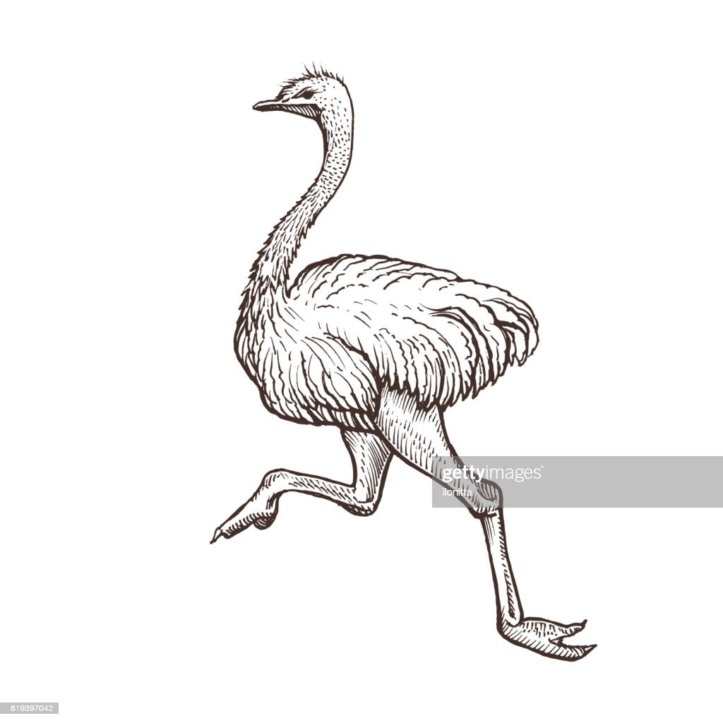 Ostrich bird, farm animal sketch, isolated running ostrich on the white background. Vintage style