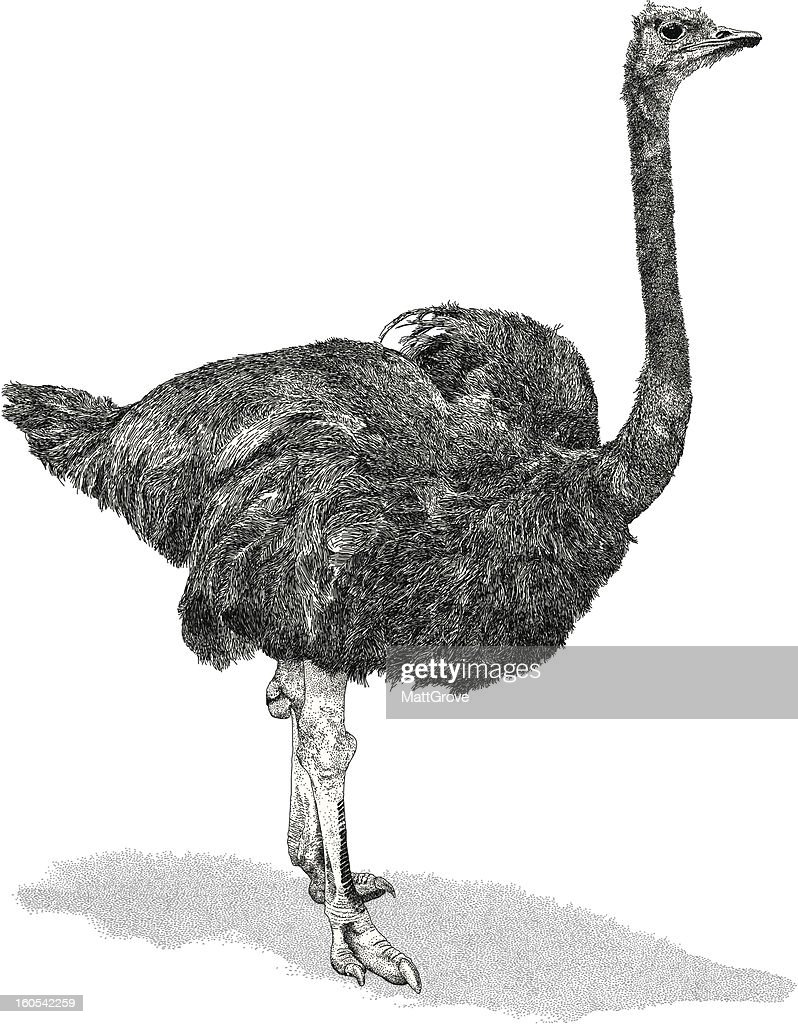 Ostrich : stock illustration
