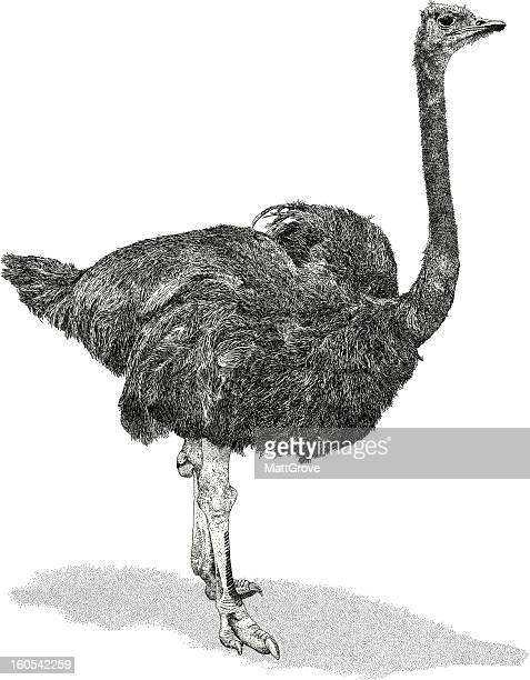 ostrich - ostrich stock illustrations, clip art, cartoons, & icons