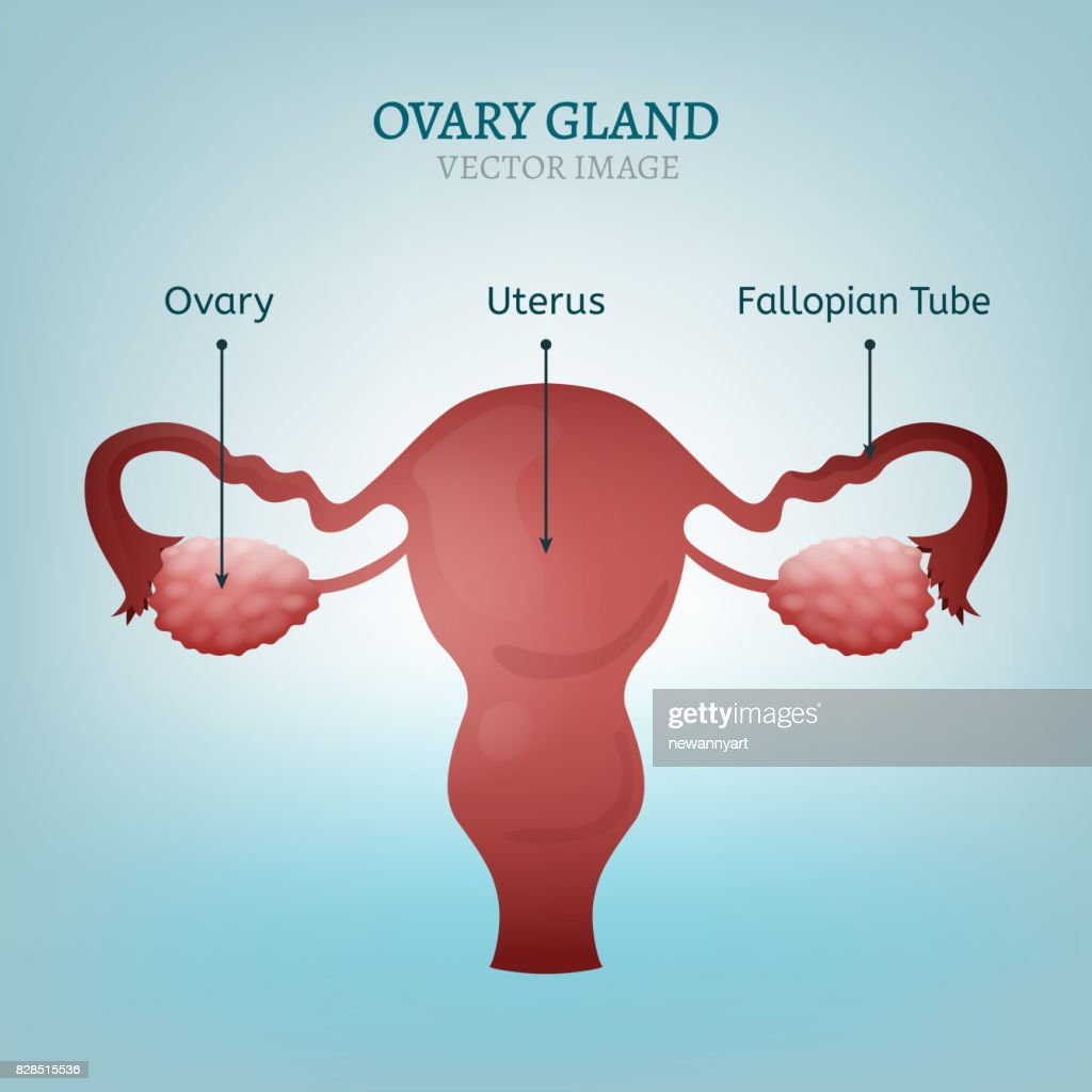 Ovary Gland Image