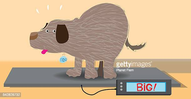 Overweight dog on an animal weight scale