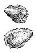 Oyster illustration, drawing, engraving, ink, line art, vector
