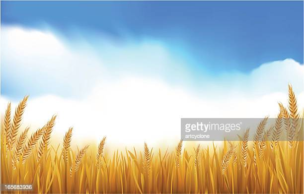 paddy or grain field - wheat stock illustrations