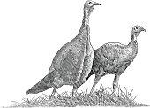 Pair of Wild Turkeys
