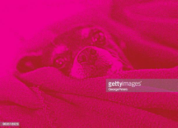 Pampered Chihuahua, lazy in bed