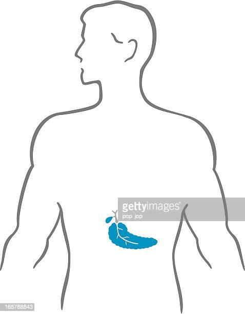 pancreas and human body - human pancreas stock illustrations, clip art, cartoons, & icons
