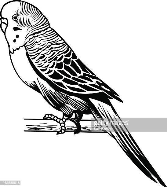 Illustrations et dessins anim s de perruche getty images - Coloriage perruche ...