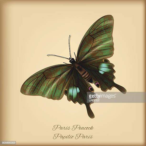 Paris Peacock Butterfly - Vector