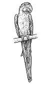 Parrot illustration, drawing, engraving, ink, line art, vector