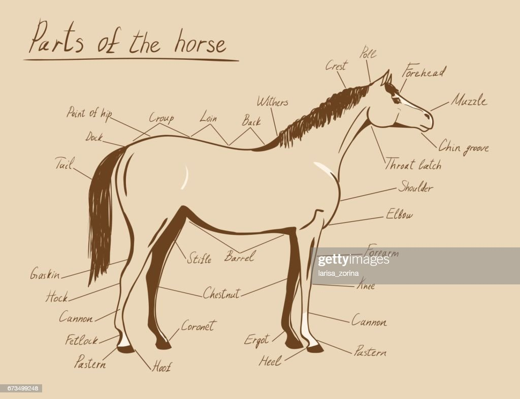 Parts of horse. Equine anatomy. Equestrian scheme with text isolated on white.
