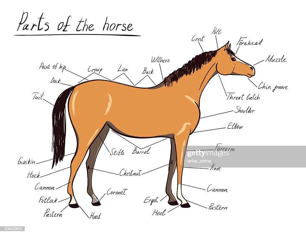 Parts of horse. Equine anatomy. Equestrian scheme with text