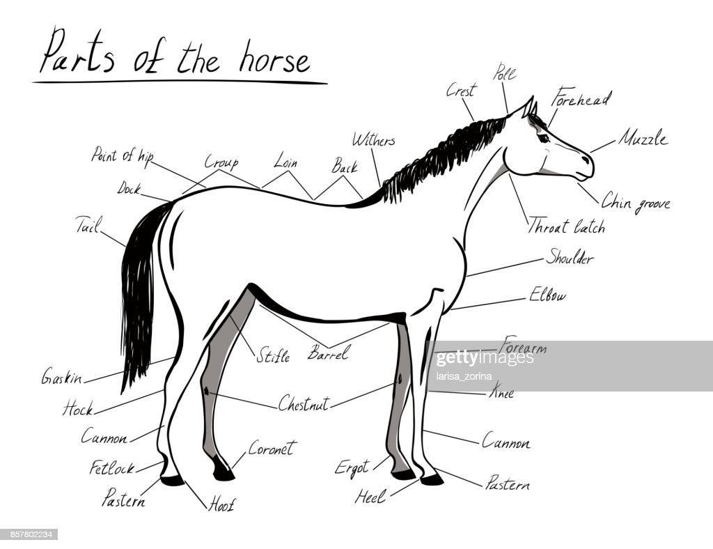 Parts of horse. Equine anatomy. White and black equestrian scheme with text.