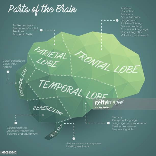 parts of the brain infographic design - temporal lobe stock illustrations, clip art, cartoons, & icons