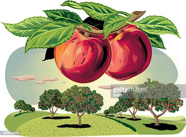 peach trees in a landscape - peach stock illustrations