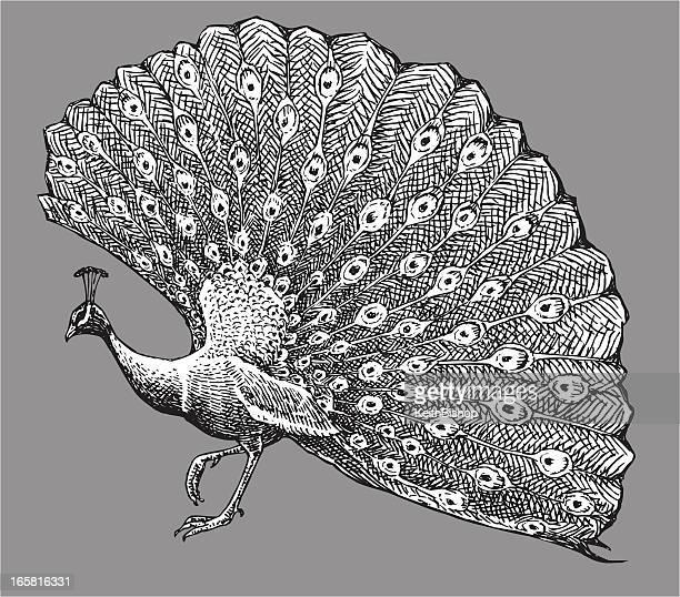illustrations, cliparts, dessins animés et icônes de oiseau paon - paon