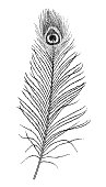 Peacock feather illustration, drawing, engraving, ink, line art, vector