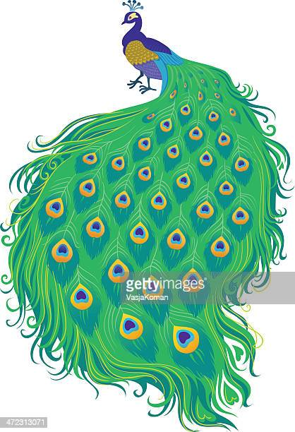 peacock - peahen stock illustrations