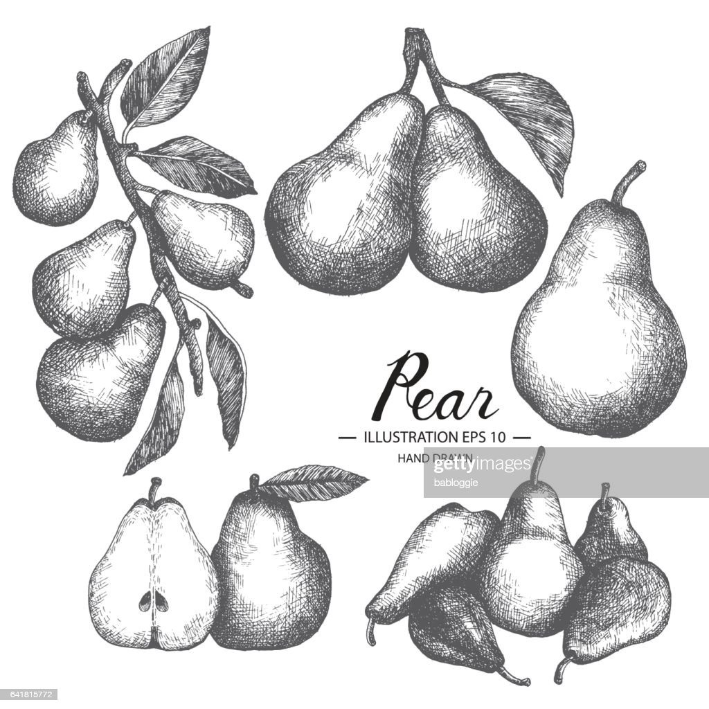 Pear hand drawn collection by ink and pen sketch.