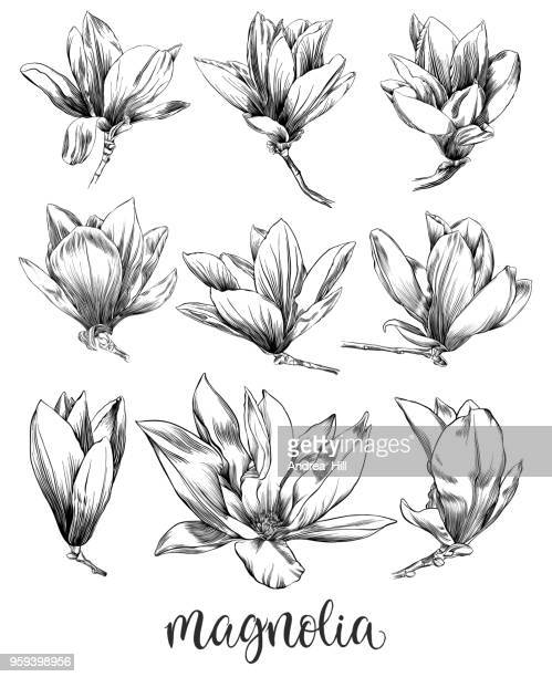 pen and ink drawing of a magnolia flower with watercolor elements - pen and ink stock illustrations