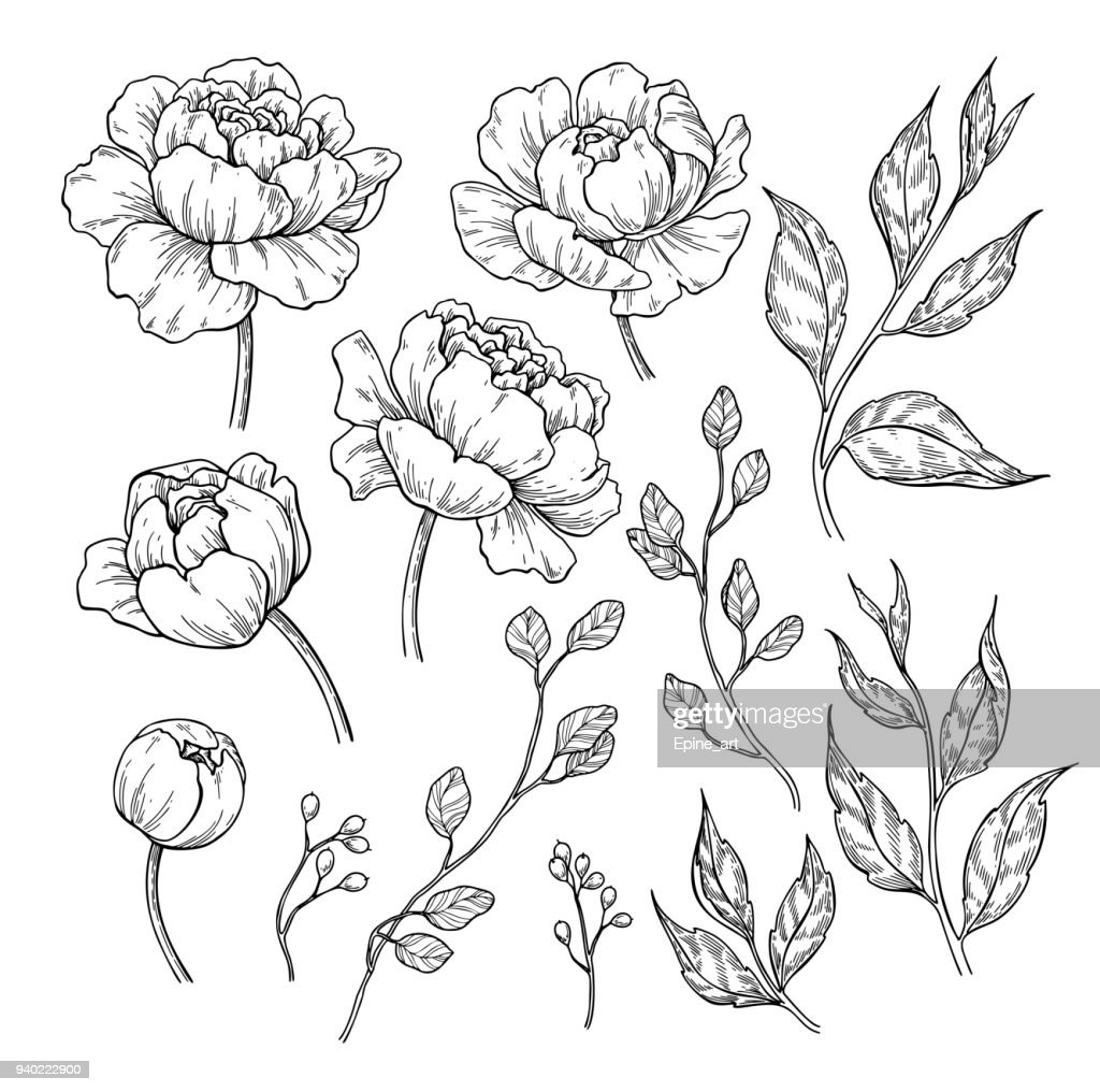 Peony flower and leaves drawing. Vector hand drawn engraved floral set. Botanical rose,