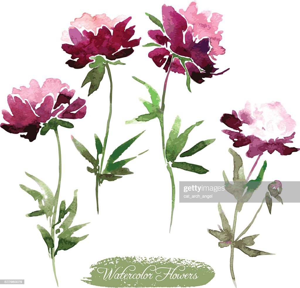 Pfingstrose Blumen Zeichnen Mit Aquarell Vektorgrafik Getty Images