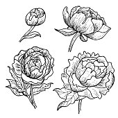 Peony flowers line art drawing set.