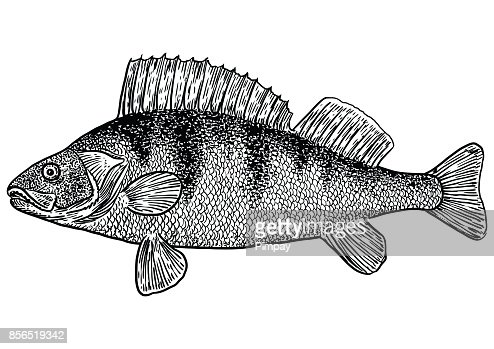 Line Art Of Fish : Perch fish illustration drawing engraving line art realistic vector