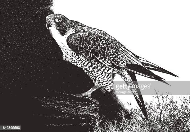 peregrine falcon perching on a cliff - falcons stock illustrations, clip art, cartoons, & icons