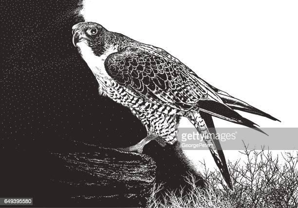 peregrine falcon perching on a cliff - falcon bird stock illustrations, clip art, cartoons, & icons