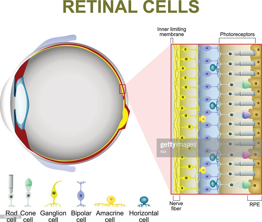 Photoreceptor cells in the retina of the eye
