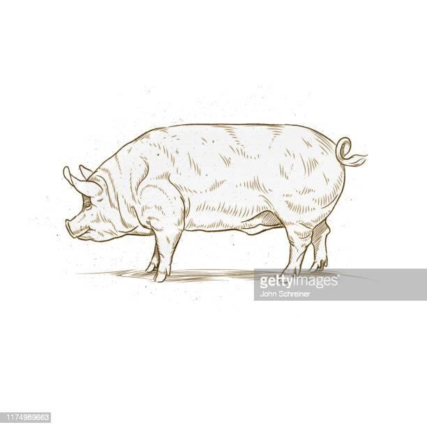 pig etching illustration - etching stock illustrations