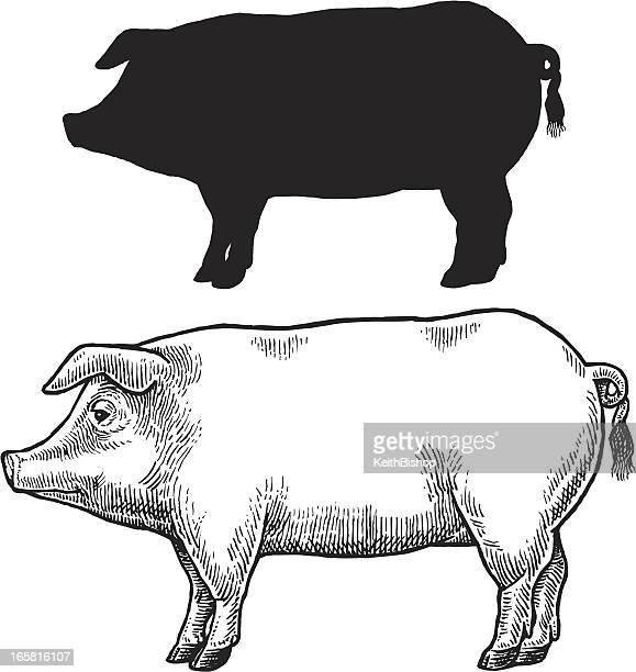 Pig, Swine or Hog
